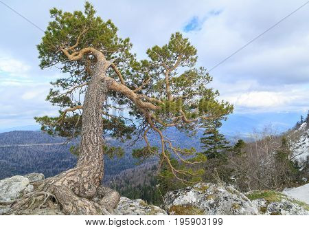 Beautiful large pine grows on a cliff over the precipice