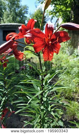 bright red tiger Lily against the sunlight