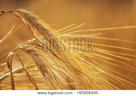 Ripe spikelets of rye close-up on Against a background of blurred rye . Golden brown tones