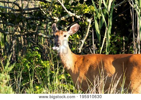 A deer in the tall beach grass and bushes turns around and sticks its tongue out at those of us looking