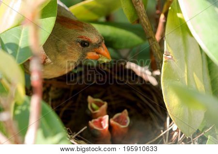 A female cardinal bird has a green worm in its mouth to feed her three babies in the nest. One of the babies has a worm in its throught. All three babies have thier mouths open