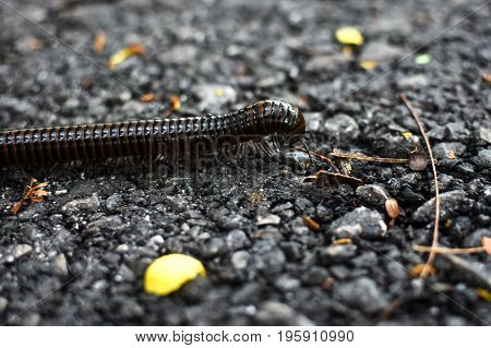 Millipede walking on ground close up, animal, forest