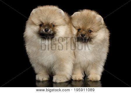 Two Groomed miniature Pomeranian Spitz puppies Standing on black isolated background, front view