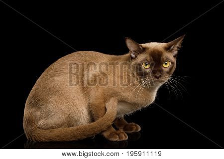Chocolate Burmese Cat Sitting and Looks cute isolated on black background