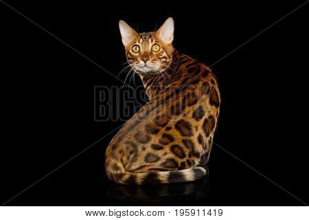 Bengal Cat Sitting and Looking back on isolated Black Background, body with rosette