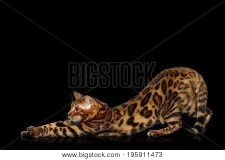 Playful Bengal Cat stretched on isolated Black Background with reflection, Side view
