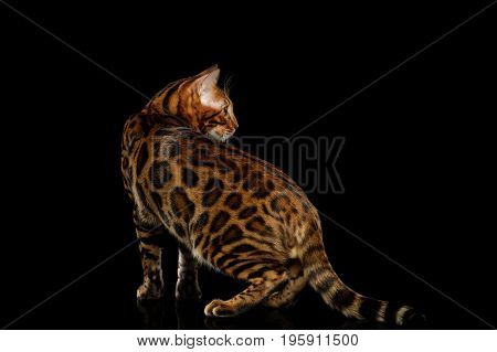 Playful Bengal Cat Standing and Looking back on isolated Black Background with reflection, Side view
