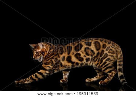 Playful Bengal Cat Standing and catching paw on isolated Black Background with reflection, Side view