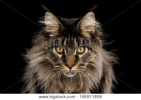 Close-up Portrait of Expression Maine Coon Cat Stare Isolated on Black Background, Front view
