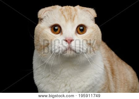 Portrait of Creame Scottish fold breed Cat with Curious face Stare in Camera on isolated black background