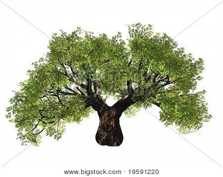High resolution old baobab tree isolated on white in summer