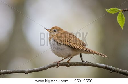 Wood Thrush (Hylocichia Mustelina) perched on a limb