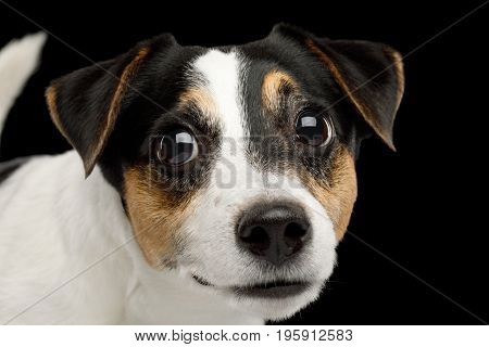 Portrait of Peeking Jack Russell Terrier Dog isolated on Black background