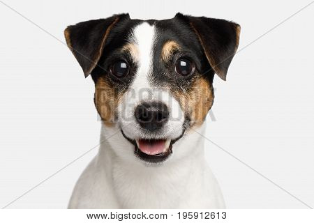 Portrait of Smiling Jack Russell Terrier Dog isolated on White background, Front view