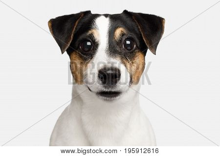 Portrait of Serious Jack Russell Terrier Dog isolated on White background, Front view