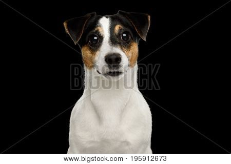 Portrait of Jack Russell Terrier Dog isolated on Black background, Front view
