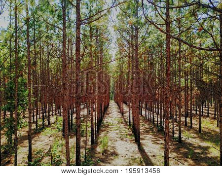 symmetric view of reforestation green pine in brown forest