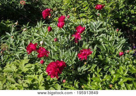 Red peony flowers in a garden on a summer day