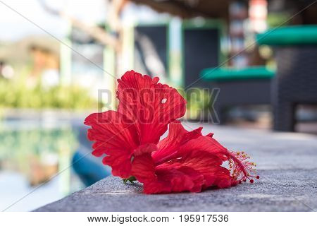 Tropical red plumeria frangipani near the swimming poll. Nusa Lembongan island, Indonesia.