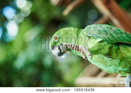 Leg of green parrot close-up. Parrot bird pointing with leg on blurred background