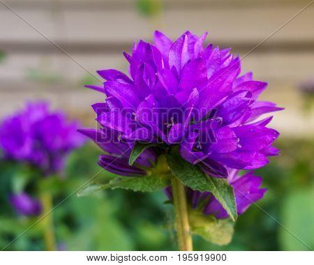 Campanula glomerata Clustered Bellflower purple ball flower outside in the garden