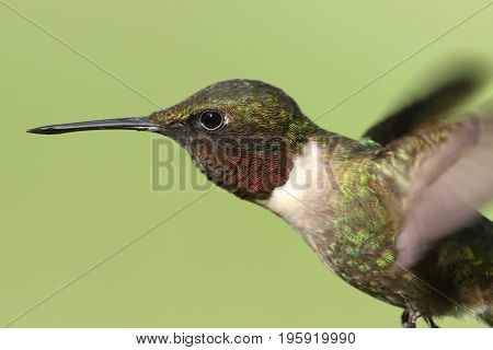Male Ruby-throated Hummingbird (archilochus colubris) in flight with a green background
