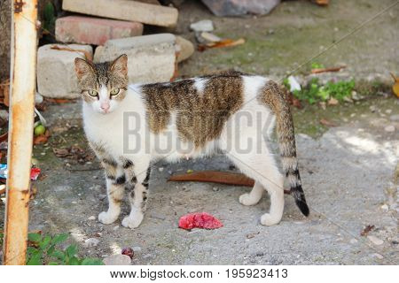 A stray white cat with stripes and spots of brown, black red color in urban slums. Close up. In full growth. In search of food.