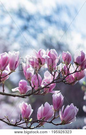 Pink magnolia flower on tree branch over spring blurred background
