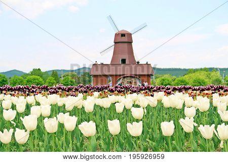 Windmill At Tulip Farm