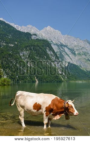cow in the water by Koenigssee in Berchtisgarden germany