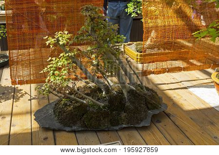 Trident Maple - Bonsai In The Style Of