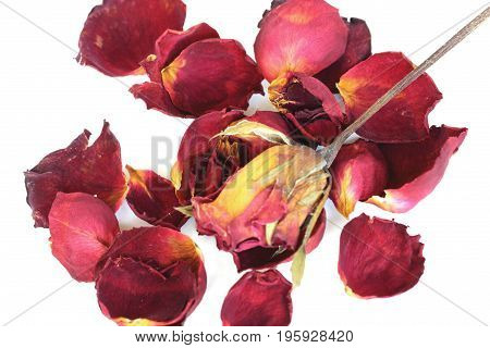 Withered rose and petals on white background.