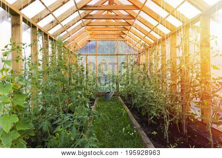 Gardening concept. Growing tomatoes in the cozy home greenhouse