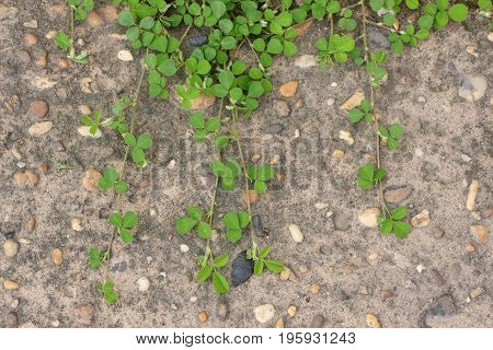 Green creeper plant on concrete pavement background.