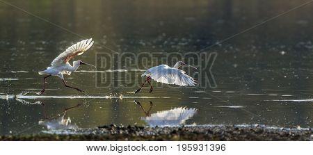 African spoonbill in Kruger national park, South Africa ; Specie Platalea alba family of Threskiornithidae