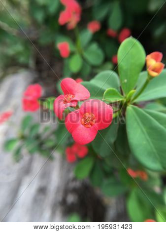 Euphorbia milii flower in nature garden , macro focus