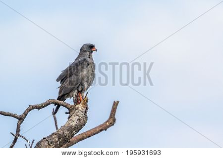 Dark chanting-goshawk in Kruger national park, South Africa ; Specie Melierax metabates family of Accipitridae