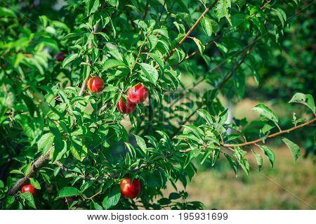 Fresh organic nectarines on the tree. Ripe nectarines. Harvest.