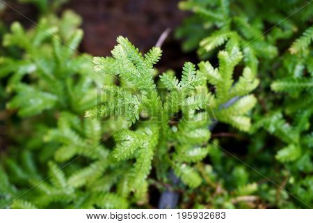 fresh green fern selaginella involvens on the ground