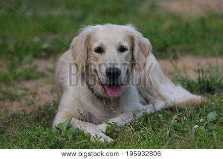 Golden retriever lie on the grass. Animals and nature.