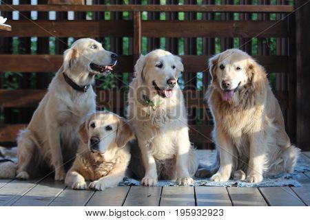 Golden retriever family. On the village. Pets.