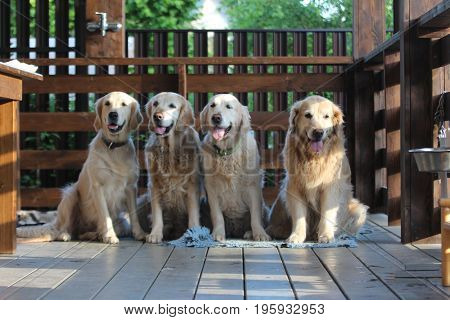 Golden retriever family. Animals and nature. On the village.