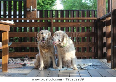 Two golden retriever siiting on the terrace.