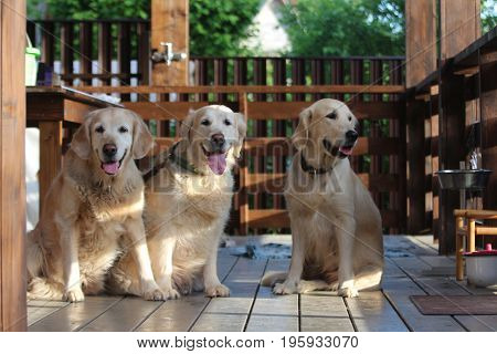 Golden retriever family. Animals and nature. Countryside.