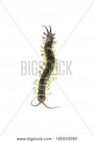 centipede on a white background, danger arthropod