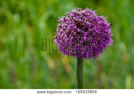 Sand Leek (allium Scorodoprasum) Or Rocambole And Korean Pickled-peel Garlic Is A Eurasian Species O