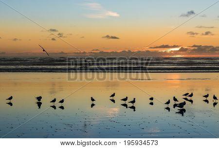 Sea gulls at Foxton Beach New Zealand as the sun goes down.