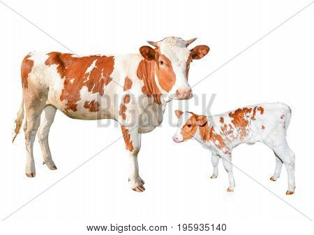 Two beautiful red and white spotted cows isolated on white background. Funny young cow and calf full length isolated on white. Farm animals.