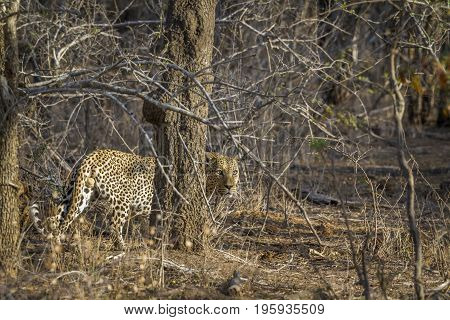 Leopard in Kruger national park, South Africa ; Specie Panthera pardus family of Felidae