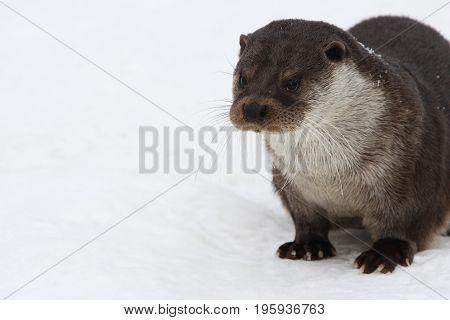 European otter.  Eurasian river otter common. River otter European snow in Helsinki zoo